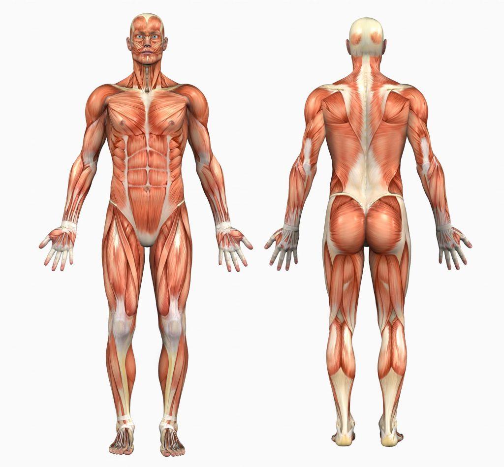 Der Mensch besitzt 656 Muskeln